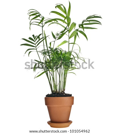 Howea palm tree in flowerpot  isolated on white background