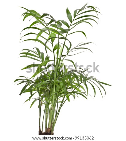 Howea palm tree isolated on white - stock photo
