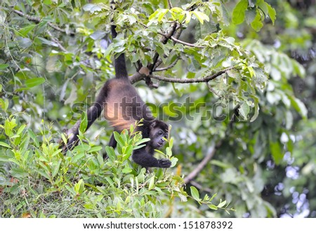 howler monkey feeding in tree, Refugio de Vida Silvestre Cuero y Salado, Honduras, central america, black monkey hanging from tail in tree