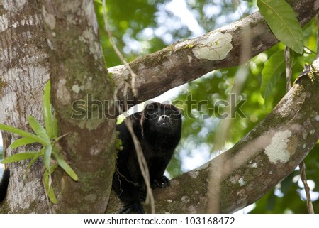Howler monkey on branch in forest - stock photo