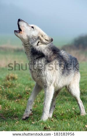 Howling Grey Wolf against a misty background/Grey Wolf/Grey Wolf - stock photo
