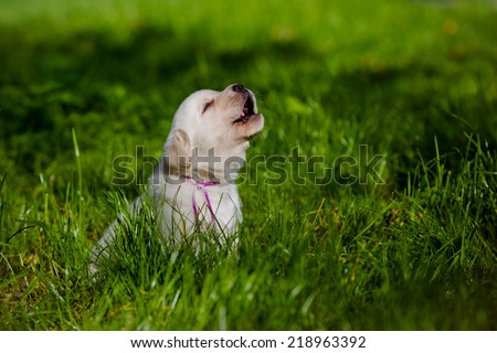 howling labrador puppy - stock photo