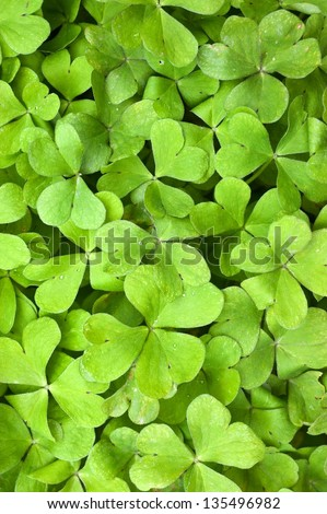 hree leaf clovers - stock photo
