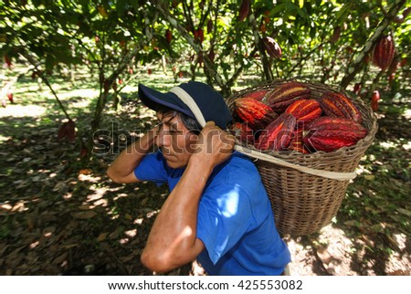 HUAYHUANTILLO, PERU - JUNE 21: A view of people who collect cocoa pods in Huayhuantillo village near Tingo Maria in Peru, 2011. - stock photo
