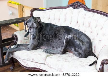 Huge Adult Merle Great Dane Lying On Camel Back Cream Sofa