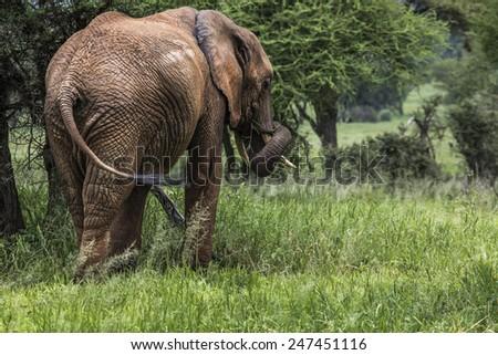 Huge African elephant bull in the Tarangire National Park, Tanzania  - stock photo