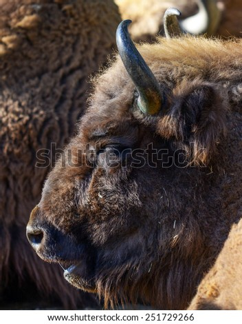 Huge American bison portrait - stock photo
