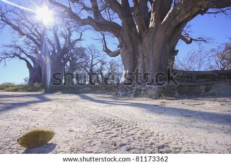 Huge baobab trees - stock photo