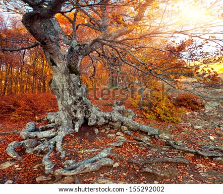 Huge beech in the autumn forest. Sunny morning - stock photo