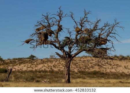 huge bird nest in the Kalahari - stock photo