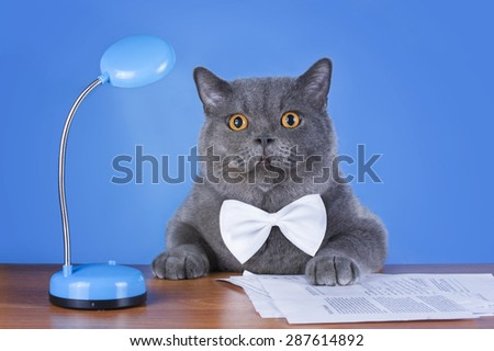 huge British cat sitting at the table - stock photo