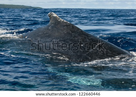 Huge close up Humpback whale back and tail going down in blue polynesian sea - stock photo