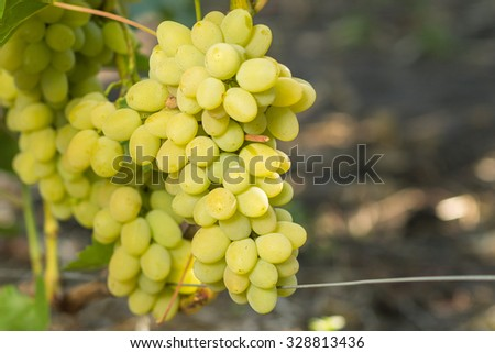 Huge cluster of white grape on grapevine with copy space aside - stock photo