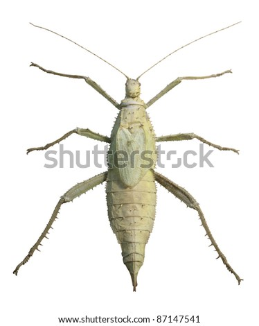 huge exotic green grasshopper seen from above, isolated on white with clipping path - stock photo