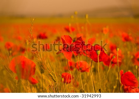 Huge field of red poppies - stock photo