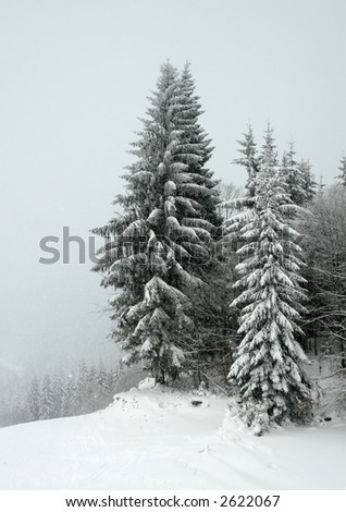 Huge fir trees covered in snow in hard winter - stock photo