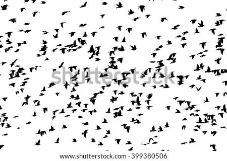 huge flock of birds flying isolated on white , black and white threshold
