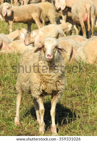 huge flock of sheep and sheep on the hill - stock photo