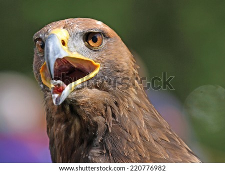 huge Golden Eagle with a open beak and bright eyes - stock photo
