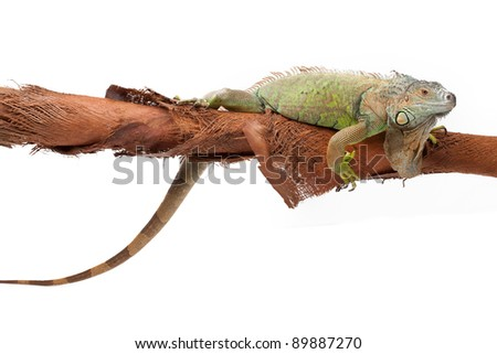 Huge green iguana on a coconut tree branch on white background isolated, a lot of copyspace available - stock photo