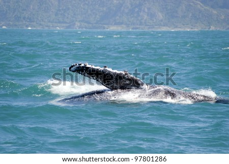 Huge humpback whale playing at coastline of Kaikoura New Zealand and showing its fin. The animal is on its way to Australia - stock photo