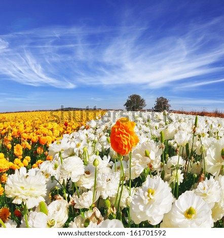 Huge kibbutz field of multi-colored buttercups (Ranunculus asiaticus).  The wonderful spring weather, light cirrus clouds flying across a blue sky. The picture was taken Fisheye lens - stock photo