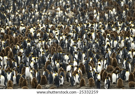 Huge King penguin colony at South Georgia - stock photo