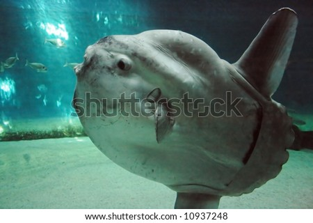 Huge luna-fish (mola-mola or ocean sunfish) in dark underwater environment.