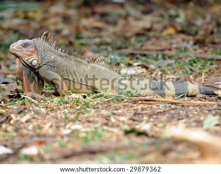 huge male green iguana on ground, san jose, costa rica, central america, prehistoric dinosaur
