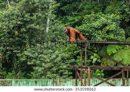 Huge Orangutan in Matang Wildlife Centre, Semenggoh - stock photo