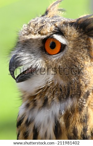 huge OWL with fluffy feathers and huge orange eyes and beak open