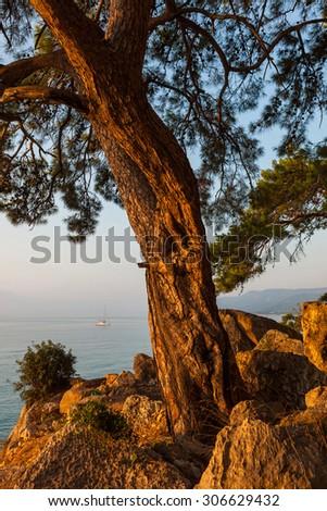 Huge pine tree and behind a small sailing catamaran at anchor Outdoors - stock photo