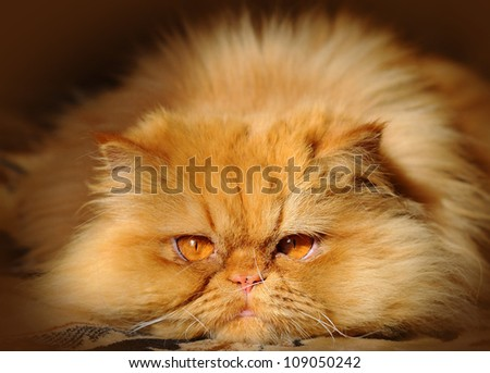 Huge red cat lying on the couch and watching carefully. - stock photo
