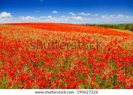 Huge red poppy flowers field - stock photo