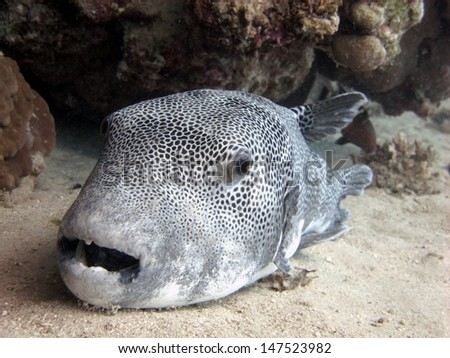 Huge Starry puffer (Arothron stellatus) resting on the sandy bottom under the cave - stock photo