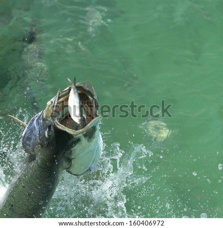 Huge Tarpon fish rising out of the water to eat a small baitfish - stock photo