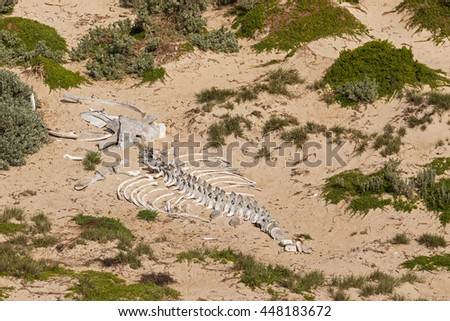Huge white whale skeleton bones on sand at Seal Bay, Sea lion colony on south coast of Kangaroo Island, South Australia - stock photo
