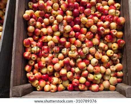 Huge wooden box full of apples in an organic farm