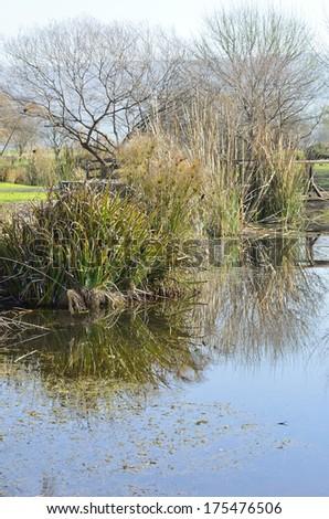 Hula Agamon Lake Botanical Garden shrub papyrus in winter - stock photo