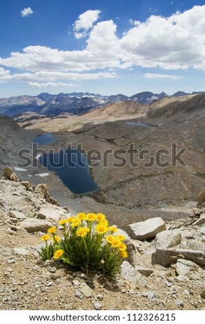 Hulsea algida or Alpine gold yellow wildflowers on high mountain over lake