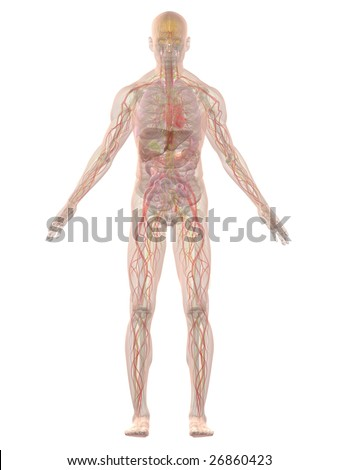 human anatomy - stock photo