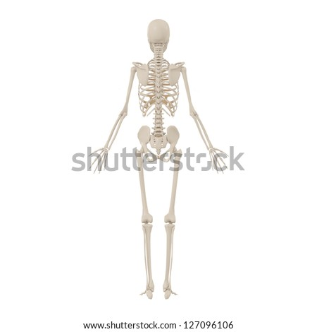 Human anatomy and skeleton