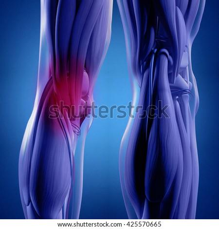 Human Anatomy Back Legs Calf Muscles Stock Illustration 425570665 ...