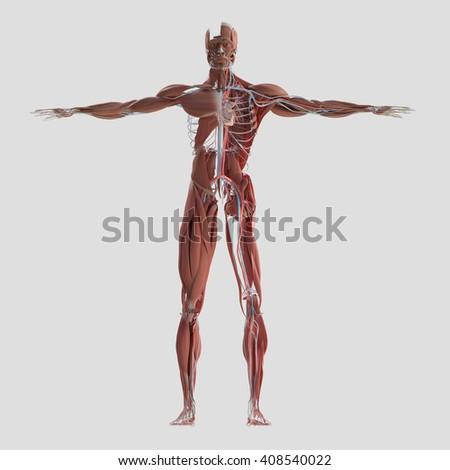 Human anatomy body. 3D illustration. Muscular and vascular system.