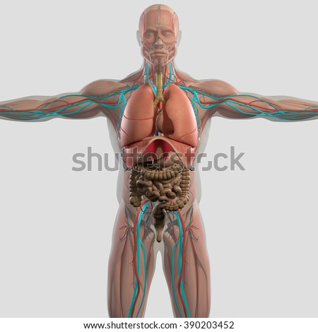 Human anatomy 3D futuristic scan technology with xray-like view of human body. Male torso front showing intestines.On light background.