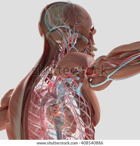Human anatomy. 3D illustration. Muscular and vascular system.