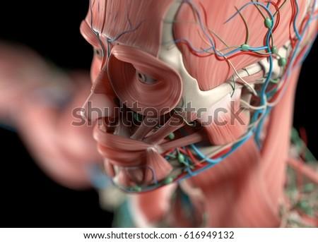 Human Anatomy Face Cheek Close Up Stock Illustration 616949132 ...