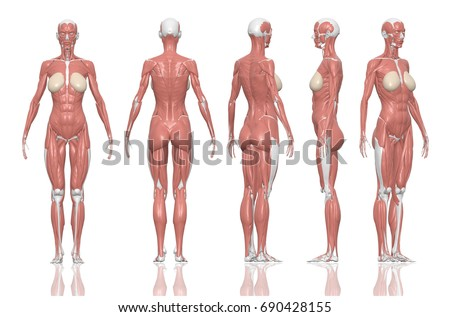 Human Anatomy Female Muscles 3 D Illustration Stock Illustration ...