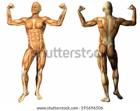 Human Anatomy - Male Muscles - stock photo