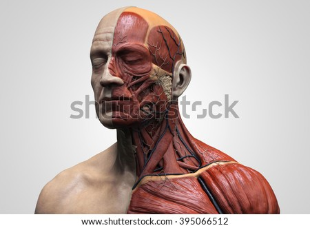 Human anatomy - muscle anatomy of the face neck and chest , medical image reference of human anatomy in 3D realistic render - stock photo